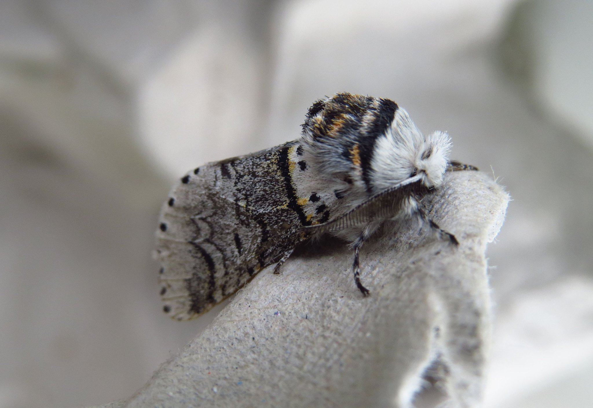 (c) Tom Vorsterman (local moth recorder Ayrshire)