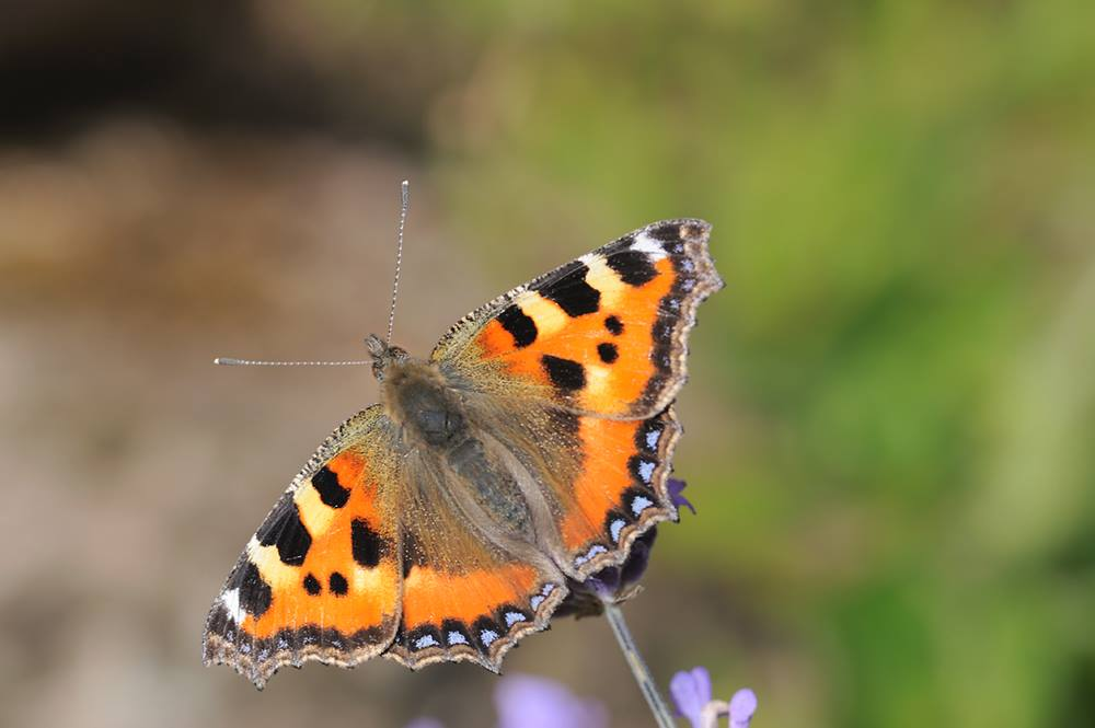 13th August - Big Butterfly Count