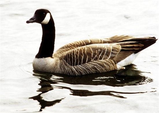 canada goose pic