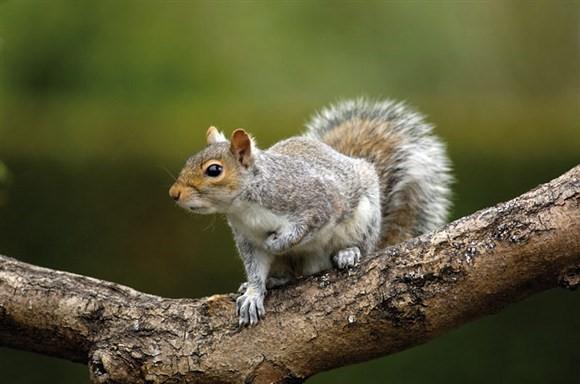 grey squirrel pic