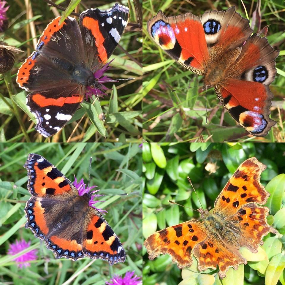 Vanessid butterflies (c) Scott Shanks
